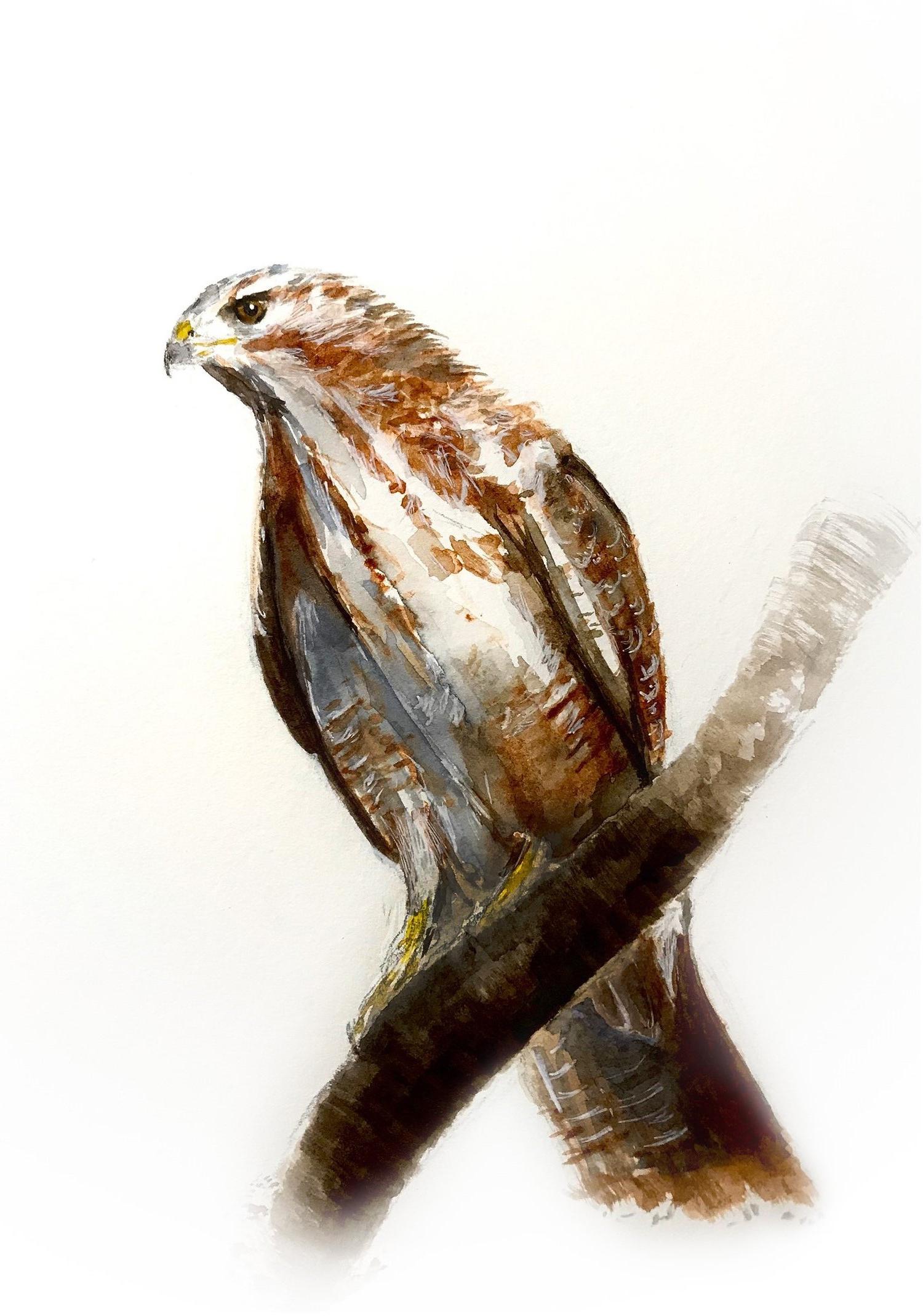 Buizerd | Common Buzzard | Buteo buteo | watercolour | aquarel